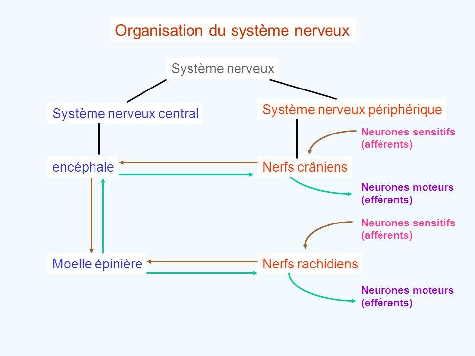 Organisation du système nerveux Système nerveux Système nerveux central Système nerveux périphérique encéphaleNerfs crâniens Nerfs rachidiensMoelle ép