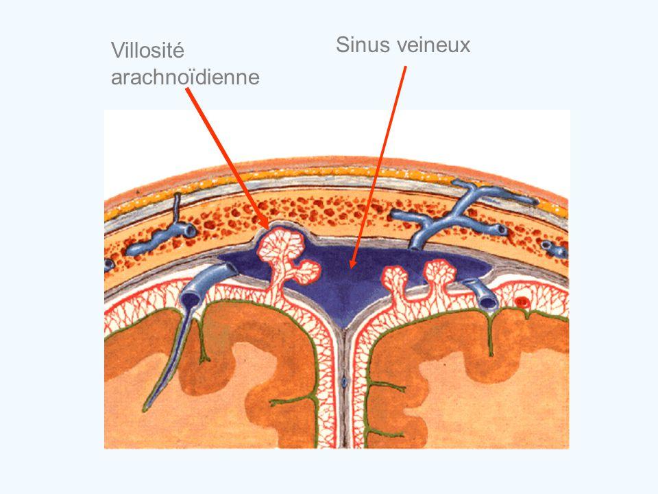 Villosité arachnoïdienne Sinus veineux