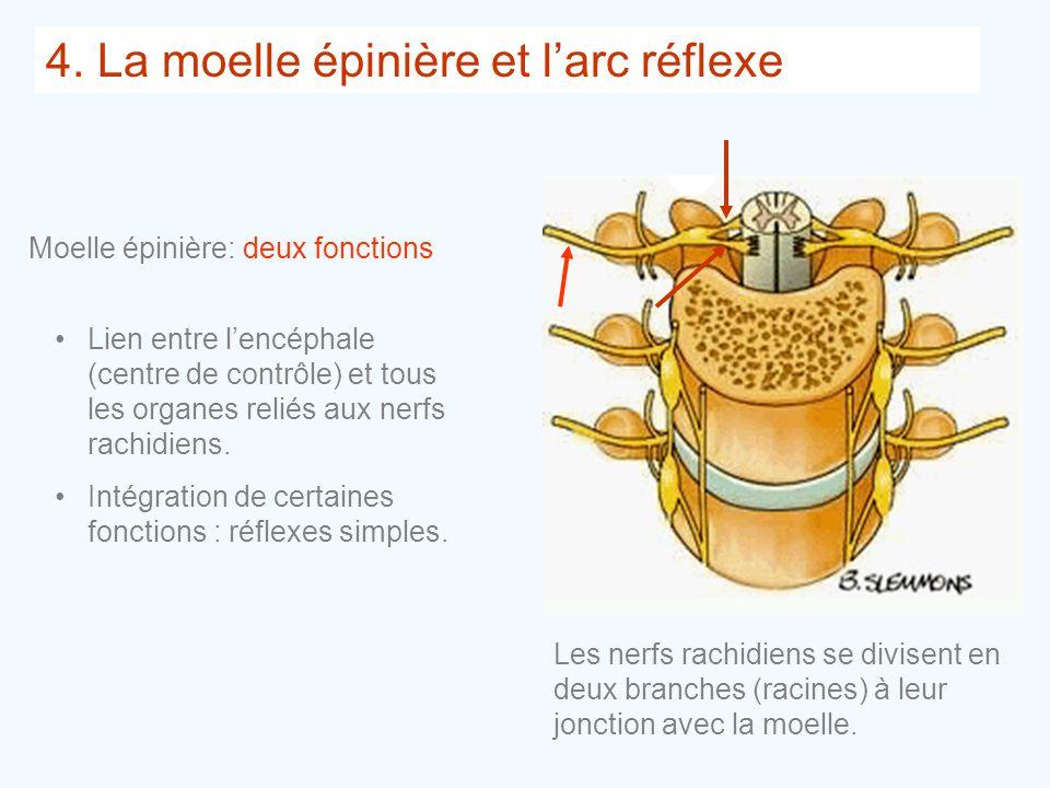 4. La moelle épinière et l'arc réflexe •Lien entre l'encéphale (centre de contrôle) et tous les organes reliés aux nerfs rachidiens. •Intégration de c