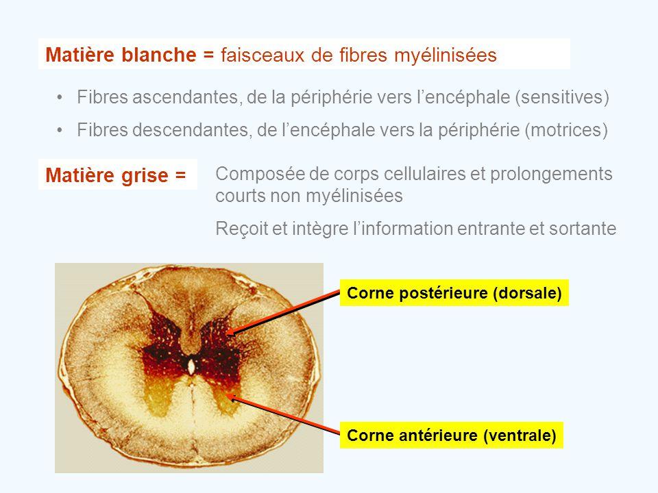 Matière blanche = faisceaux de fibres myélinisées •Fibres ascendantes, de la périphérie vers l'encéphale (sensitives) •Fibres descendantes, de l'encép