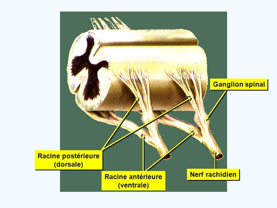 Nerf rachidien Racine postérieure (dorsale) Racine postérieure (dorsale) Racine antérieure (ventrale) Ganglion spinal