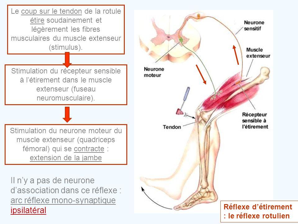 Le coup sur le tendon de la rotule étire soudainement et légèrement les fibres musculaires du muscle extenseur (stimulus). Stimulation du récepteur se