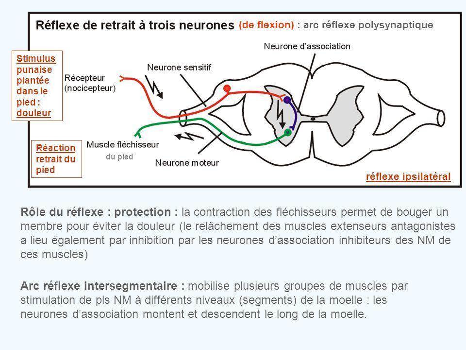 Rôle du réflexe : protection : la contraction des fléchisseurs permet de bouger un membre pour éviter la douleur (le relâchement des muscles extenseur