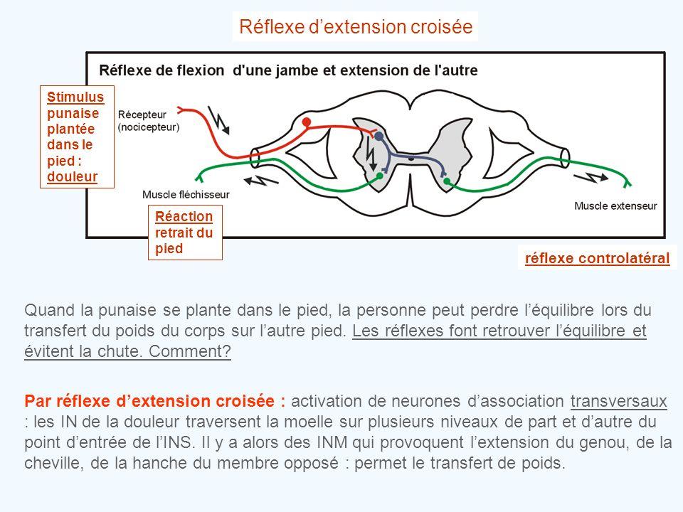 Réflexe d'extension croisée Stimulus punaise plantée dans le pied : douleur Réaction retrait du pied réflexe controlatéral Quand la punaise se plante