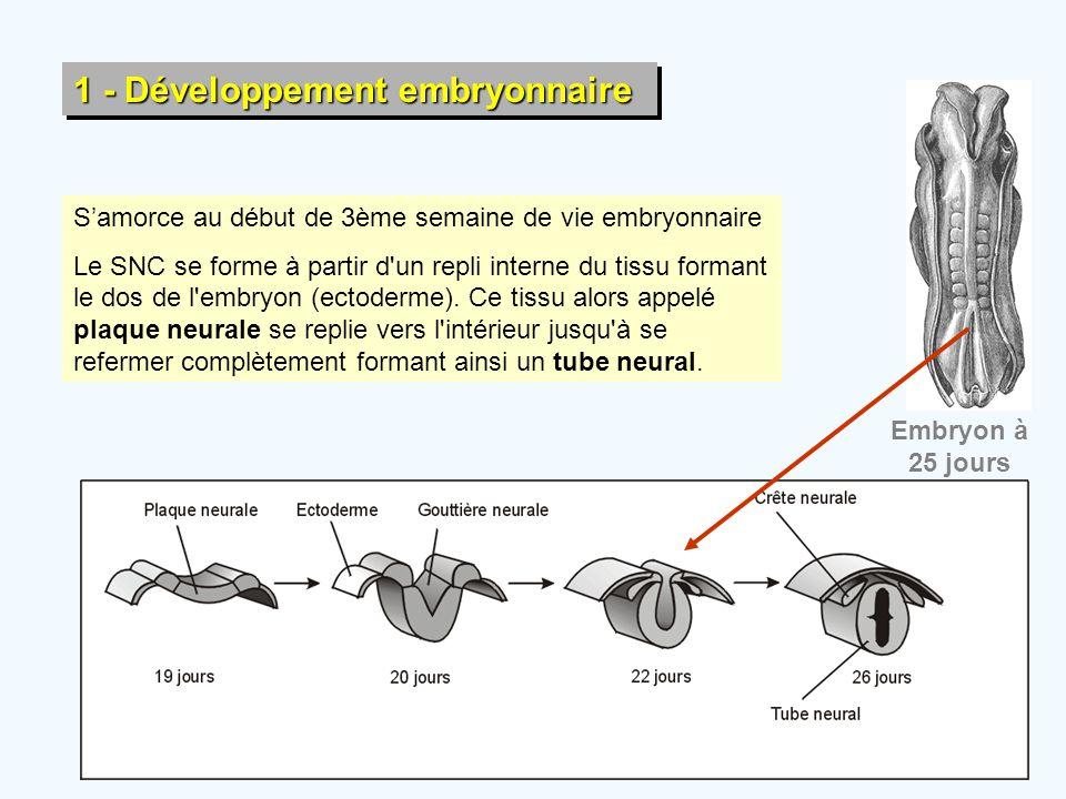 1 - Développement embryonnaire Embryon à 25 jours S'amorce au début de 3ème semaine de vie embryonnaire Le SNC se forme à partir d'un repli interne du