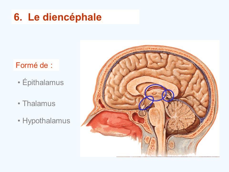 6. Le diencéphale Formé de : •Épithalamus •Thalamus •Hypothalamus