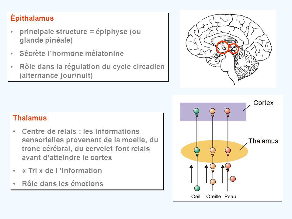 Épithalamus •principale structure = épiphyse (ou glande pinéale) •Sécrète l'hormone mélatonine •Rôle dans la régulation du cycle circadien (alternance