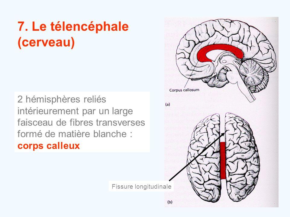 7. Le télencéphale (cerveau) 2 hémisphères reliés intérieurement par un large faisceau de fibres transverses formé de matière blanche : corps calleux
