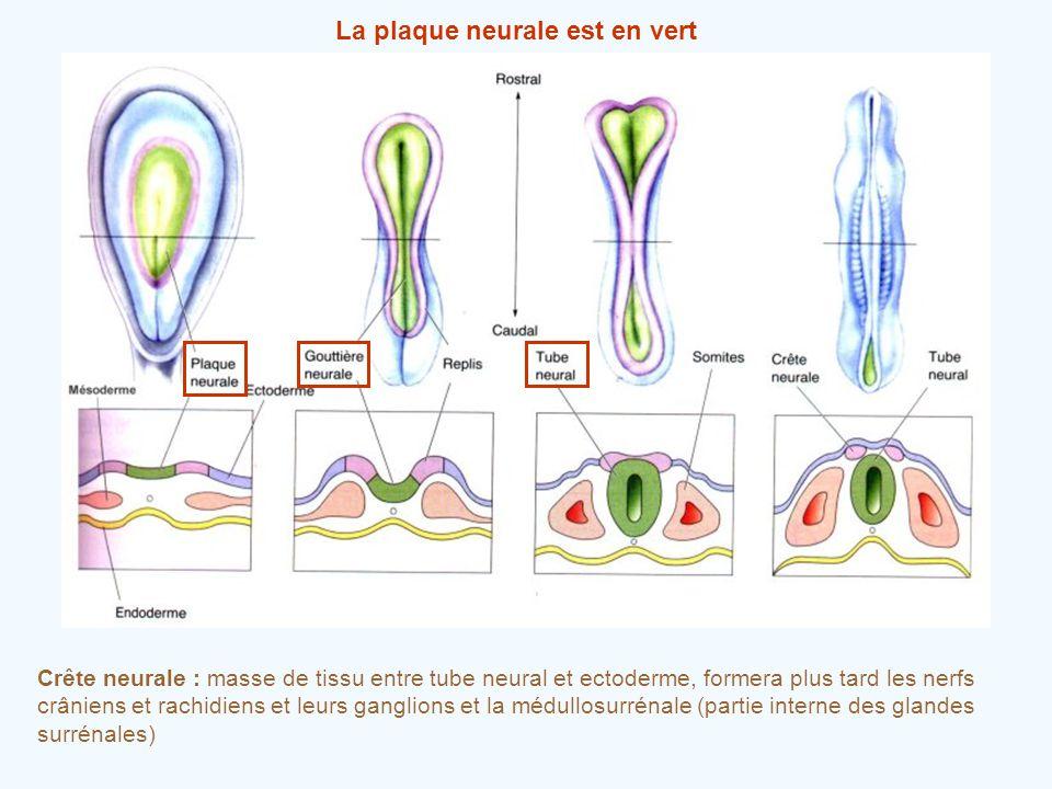 La plaque neurale est en vert Crête neurale : masse de tissu entre tube neural et ectoderme, formera plus tard les nerfs crâniens et rachidiens et leu