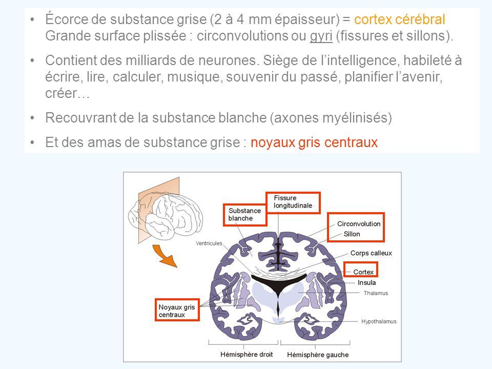 •Écorce de substance grise (2 à 4 mm épaisseur) = cortex cérébral Grande surface plissée : circonvolutions ou gyri (fissures et sillons). •Contient de