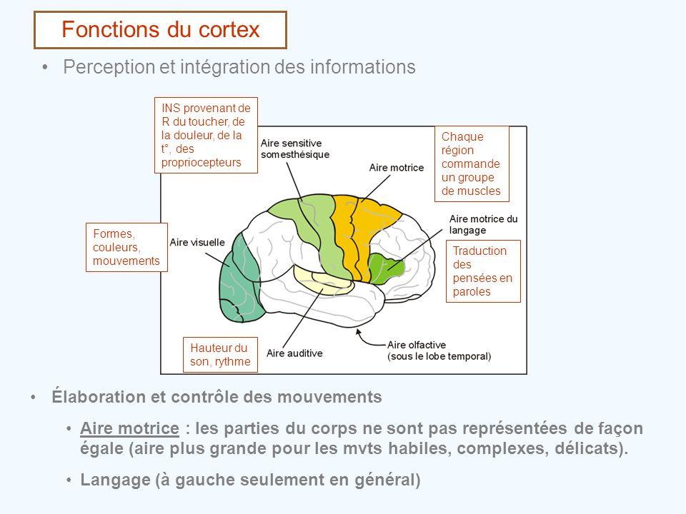 Fonctions du cortex •Perception et intégration des informations •Élaboration et contrôle des mouvements •Aire motrice : les parties du corps ne sont p