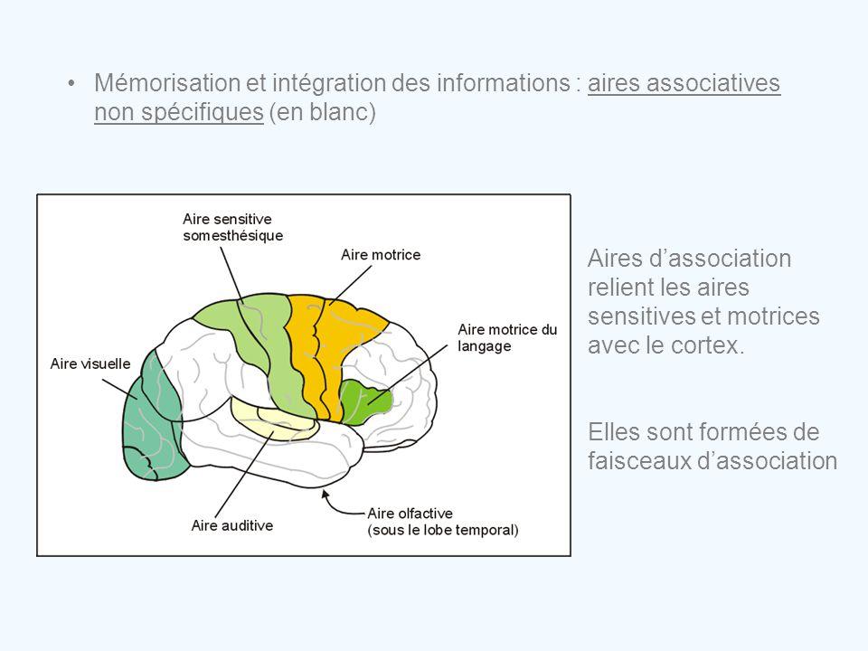 •Mémorisation et intégration des informations : aires associatives non spécifiques (en blanc) Aires d'association relient les aires sensitives et motr