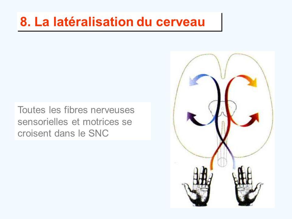 8. La latéralisation du cerveau Toutes les fibres nerveuses sensorielles et motrices se croisent dans le SNC