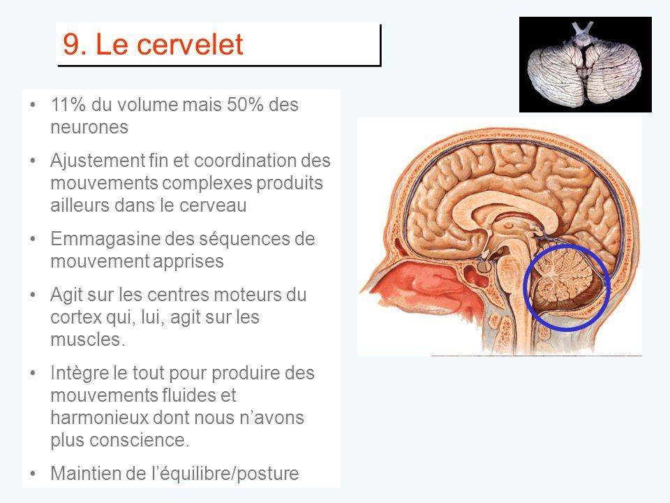 9. Le cervelet •11% du volume mais 50% des neurones •Ajustement fin et coordination des mouvements complexes produits ailleurs dans le cerveau •Emmaga