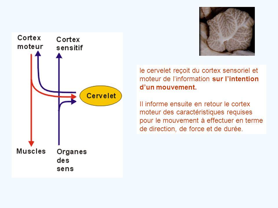 le cervelet reçoit du cortex sensoriel et moteur de l'information sur l'intention d'un mouvement. Il informe ensuite en retour le cortex moteur des ca