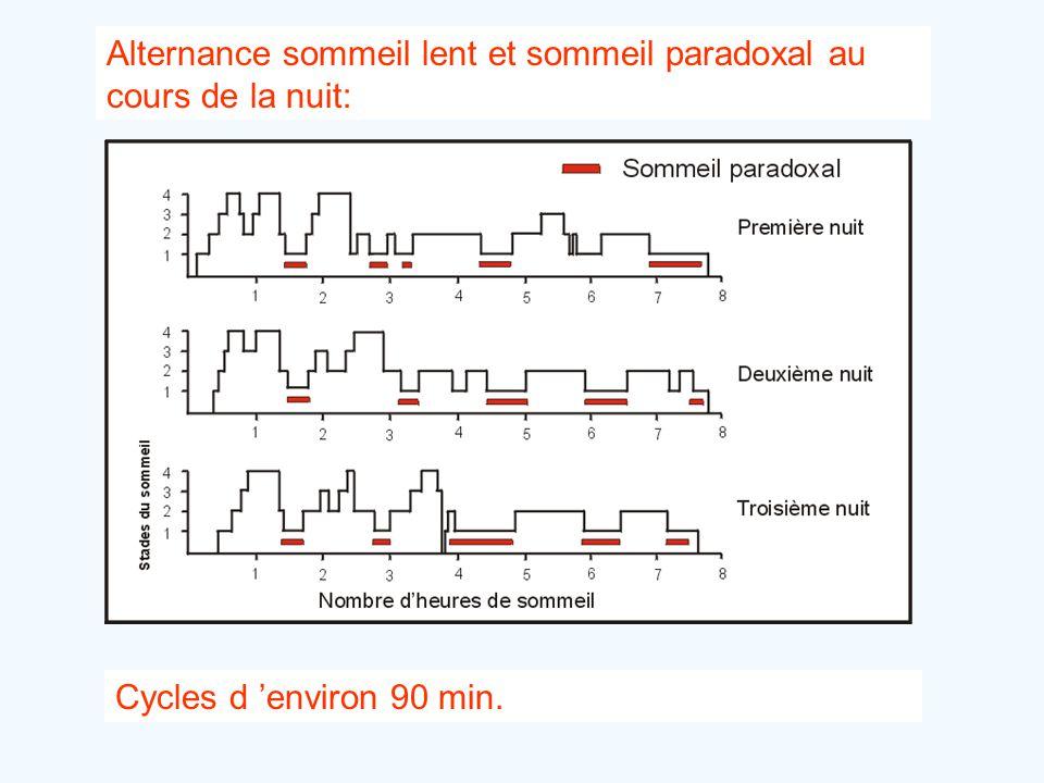 Alternance sommeil lent et sommeil paradoxal au cours de la nuit: Cycles d 'environ 90 min.