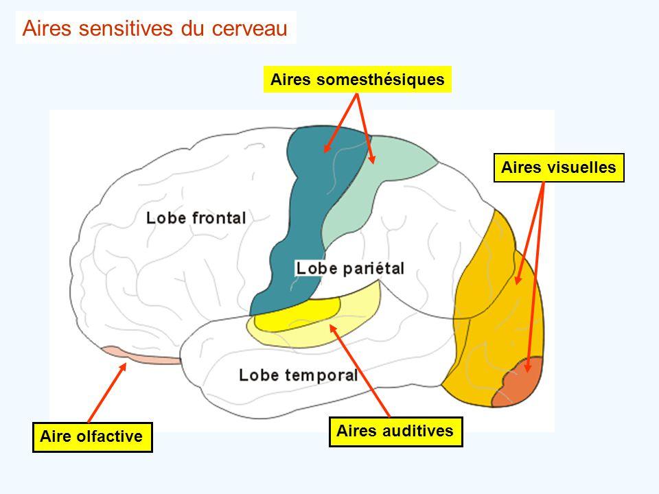 Aires somesthésiques Aire olfactive Aires auditives Aires visuelles Aires sensitives du cerveau