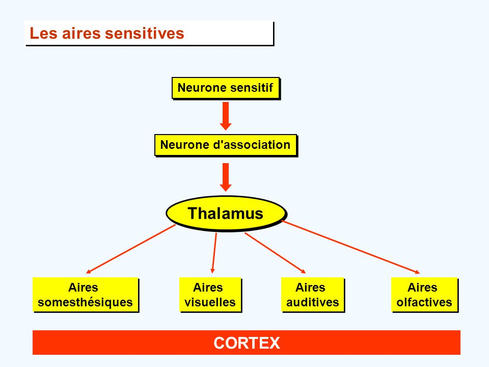 Les aires sensitives Neurone sensitif Neurone d association Thalamus Aires somesthésiques Aires visuelles Aires auditives Aires olfactives CORTEX