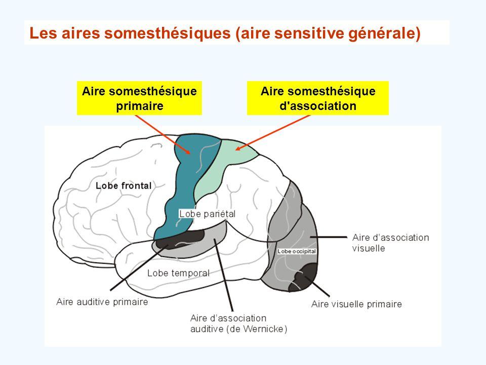 Les aires somesthésiques (aire sensitive générale) Aire somesthésique d'association Aire somesthésique primaire