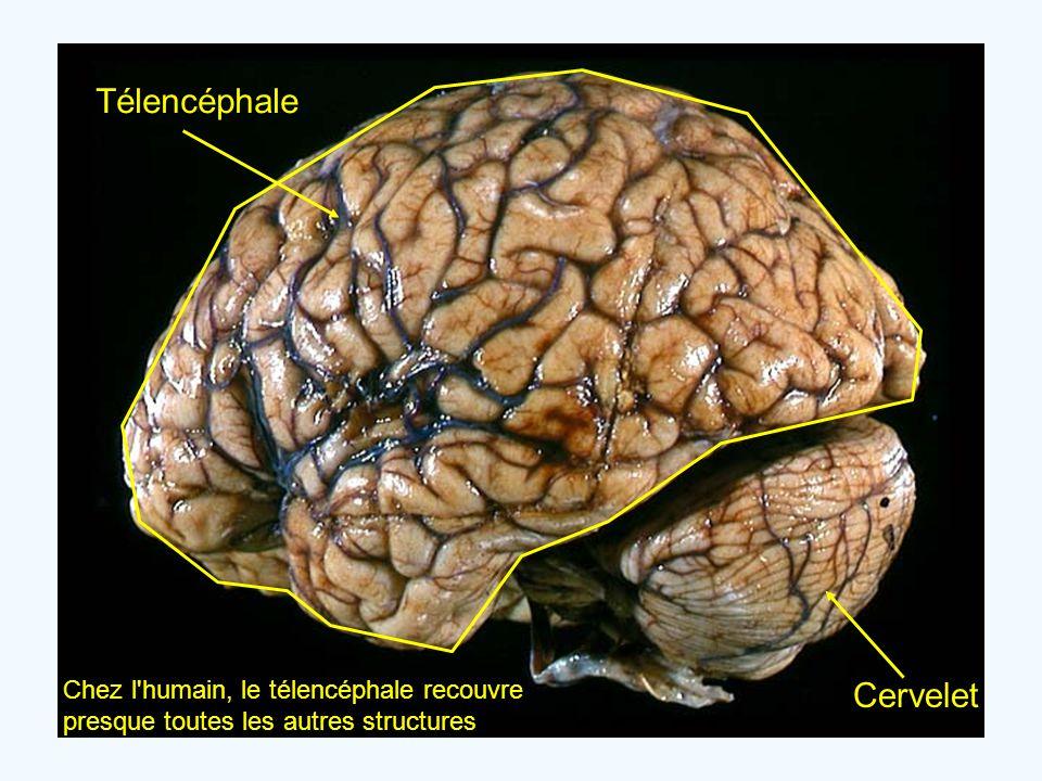 Télencéphale Chez l'humain, le télencéphale recouvre presque toutes les autres structures Cervelet
