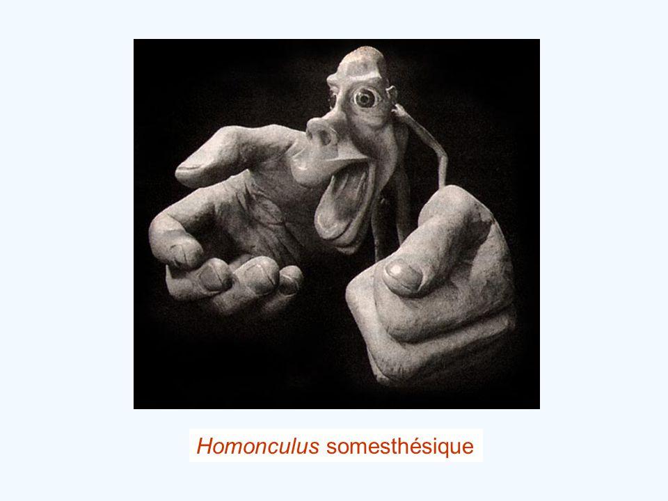 Homonculus somesthésique