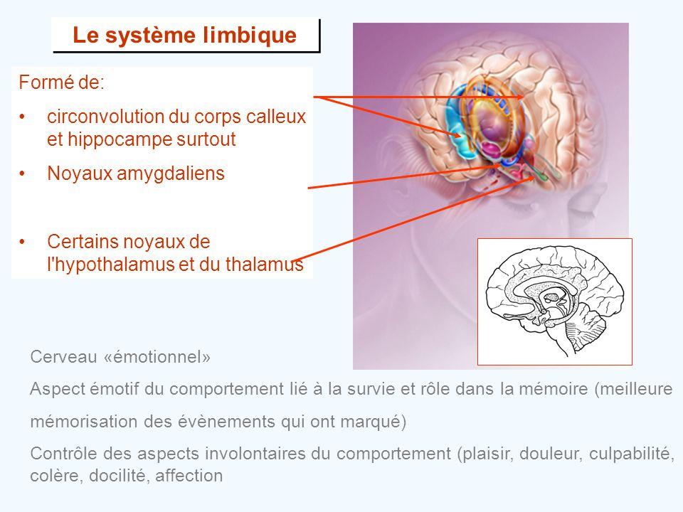 Le système limbique Formé de: •circonvolution du corps calleux et hippocampe surtout •Noyaux amygdaliens •Certains noyaux de l'hypothalamus et du thal