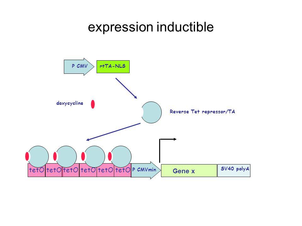 expression inductible rtTA-NLSP CMV SV40 polyA P CMVmin tetO Gene x Reverse Tet repressor/TA doxycycline