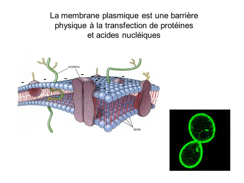 La membrane plasmique est une barrière physique à la transfection de protéines et acides nucléiques