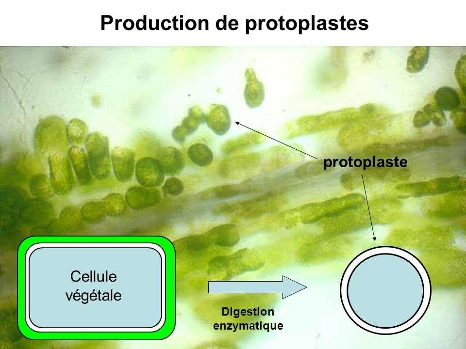 Digestion enzymatique protoplaste Cellule végétale Production de protoplastes