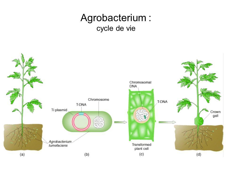 Agrobacterium : cycle de vie
