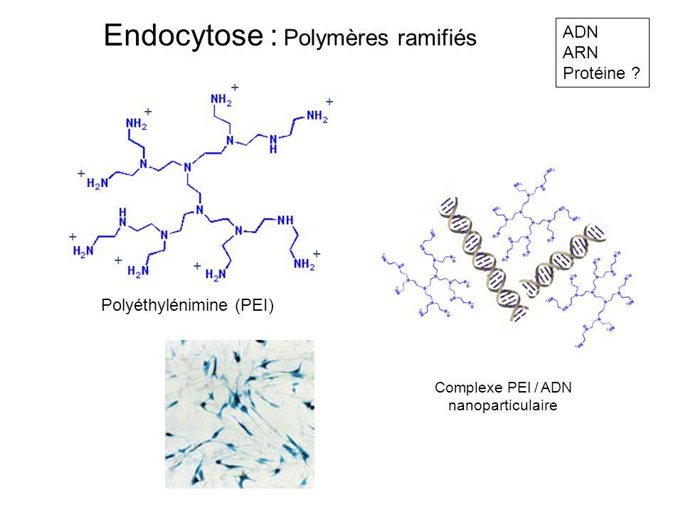 Polymères ramifiés Polyéthylénimine (PEI) Complexe PEI / ADN nanoparticulaire + + + + + + + + ADN ARN Protéine ? Endocytose :