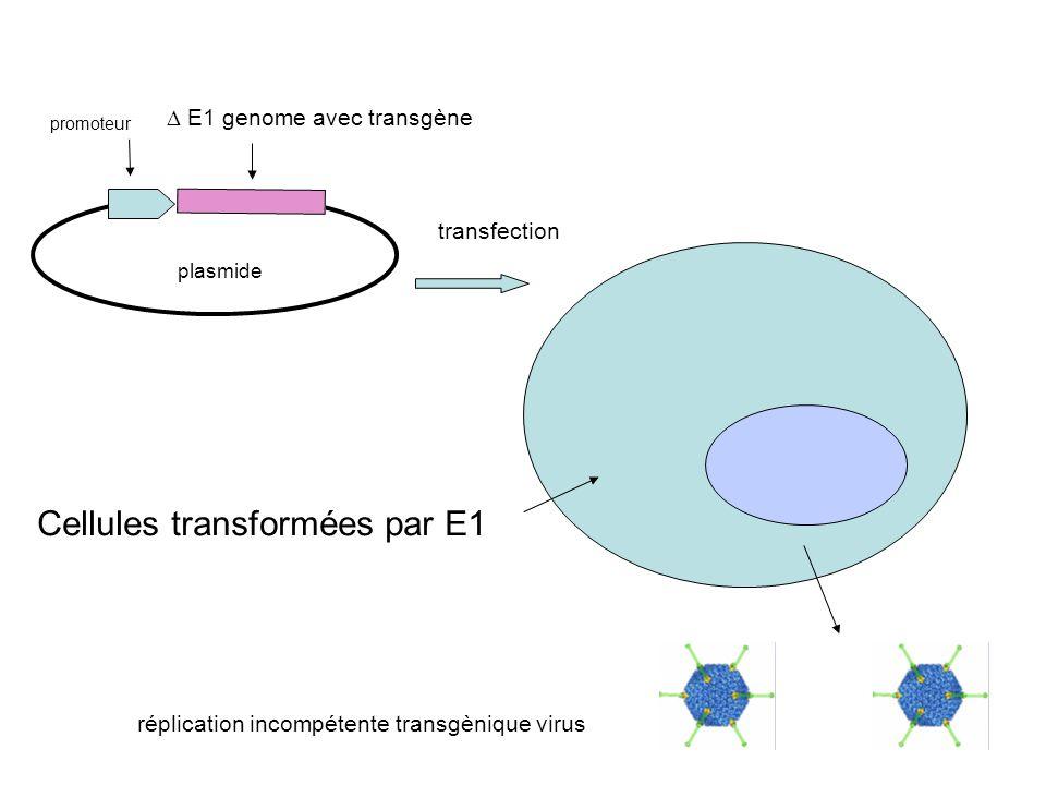Cellules transformées par E1 promoteur  E1 genome avec transgène plasmide réplication incompétente transgènique virus transfection