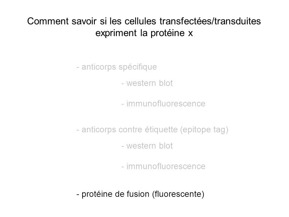 Comment savoir si les cellules transfectées/transduites expriment la protéine x - anticorps spécifique - western blot - immunofluorescence - anticorps