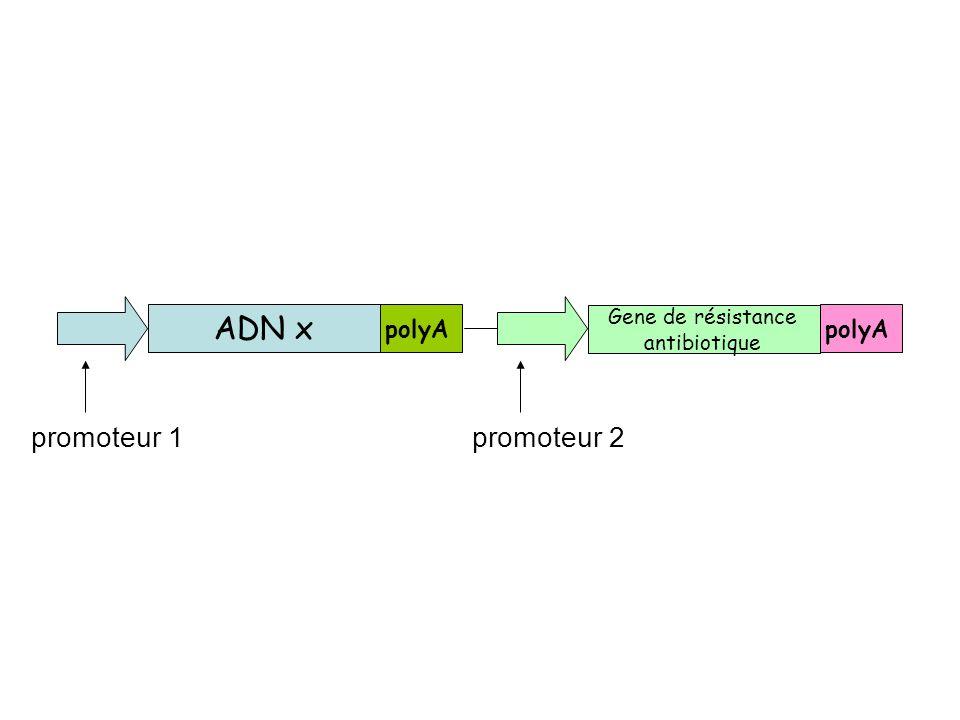 promoteur 1promoteur 2 ADN x polyA Gene de résistance antibiotique