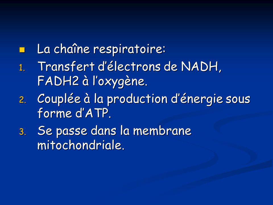  La chaîne respiratoire: 1. Transfert d'électrons de NADH, FADH2 à l'oxygène. 2. Couplée à la production d'énergie sous forme d'ATP. 3. Se passe dans