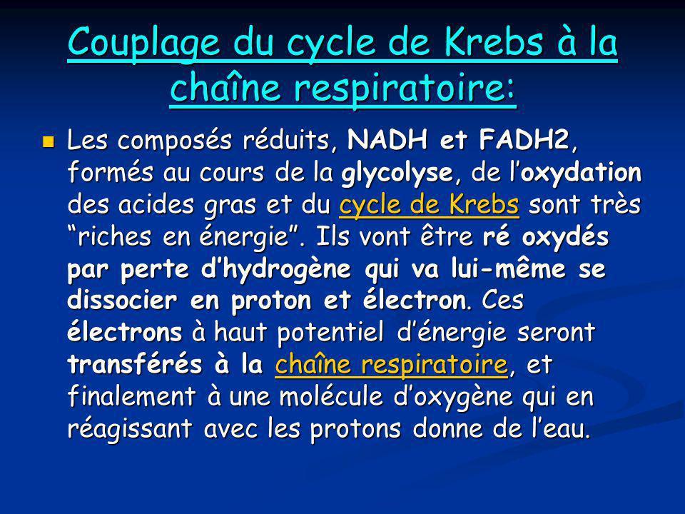 Couplage du cycle de Krebs à la chaîne respiratoire:  Les composés réduits, NADH et FADH2, formés au cours de la glycolyse, de l'oxydation des acides