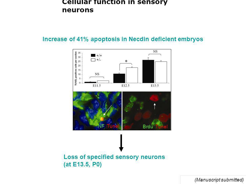 Cellular function in sensory neurons Increase of 41% apoptosis in Necdin deficient embryos (Manuscript submitted) Loss of specified sensory neurons (at E13.5, P0) NF Tunel Brdu Tunel +/+ +/-