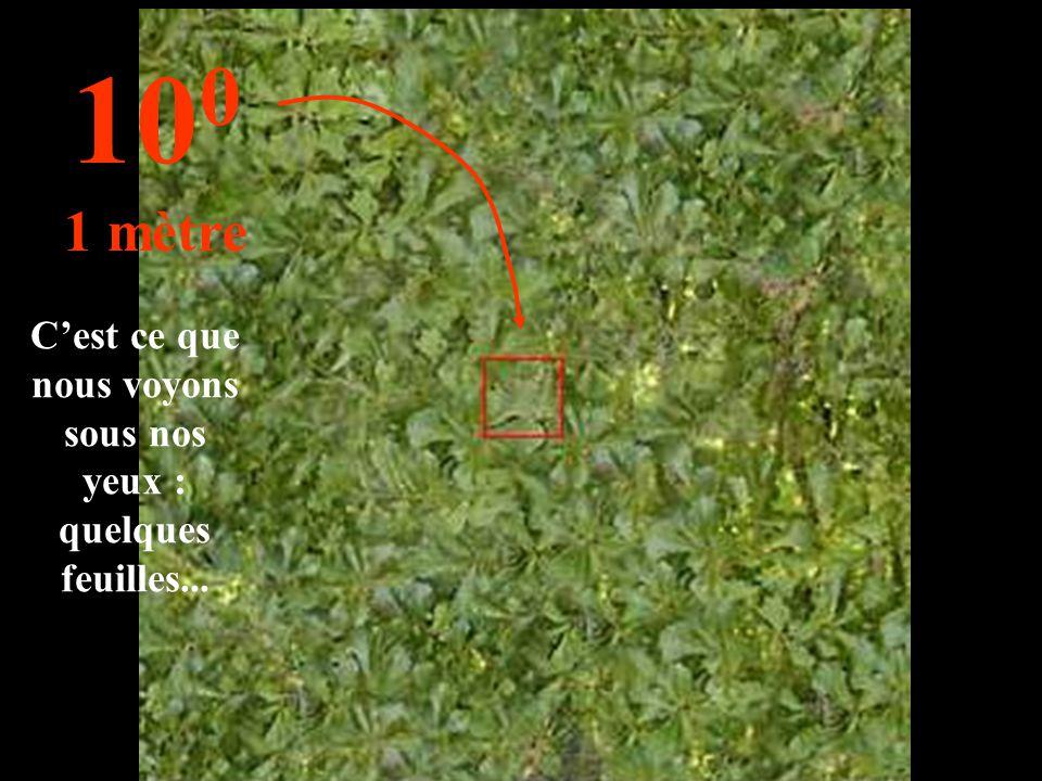 C'est ce que nous voyons sous nos yeux : quelques feuilles... 10 0 1 mètre