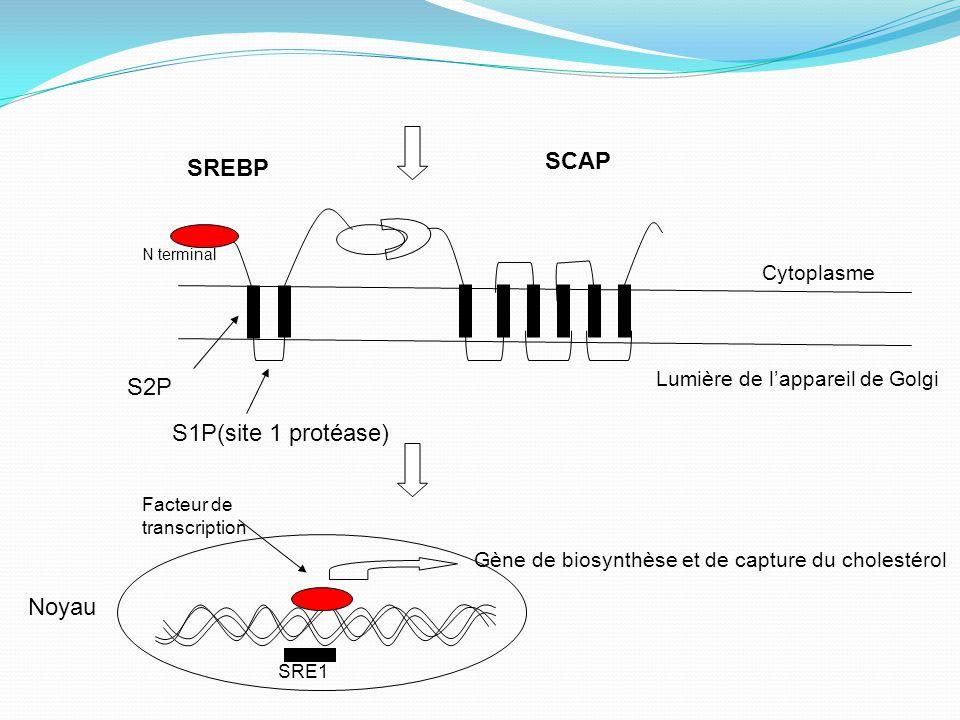 Gène de biosynthèse et de capture du cholestérol SCAP Cytoplasme N terminal SREBP S1P(site 1 protéase) S2P Lumière de l'appareil de Golgi Noyau Facteur de transcription SRE1