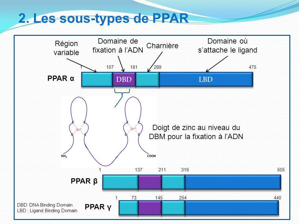 LBD DBD 1 137 211 319 505 1 107 181 289 475 1 73 145 254 440 PPAR β PPAR α PPAR γ 2. Les sous-types de PPAR Domaine de fixation à l'ADN Région variabl