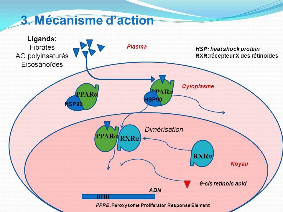 3. Mécanisme d'action Ligands: Fibrates AG polyinsaturés Eicosanoïdes HSP90 PPARα HSP90 HSP: heat shock protein RXR:récepteur X des rétinoïdes PPRE :P