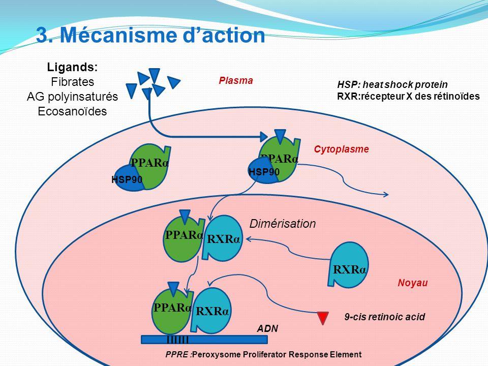 3. Mécanisme d'action Ligands: Fibrates AG polyinsaturés Ecosanoïdes HSP90 PPARα HSP90 HSP: heat shock protein RXR:récepteur X des rétinoïdes PPRE :Pe