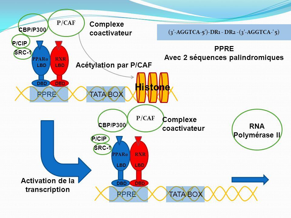 PPRE DBD PPARαRXR P/CAF LBD TATA BOX CBP/P300 P/CIP SRC-1 Complexe coactivateur PPRE DBD PPARαRXR P/CAF LBD TATA BOX CBP/P300 P/CIP SRC-1 Complexe coactivateur RNA Polymérase II Activation de la transcription Acétylation par P/CAF (3'-AGGTCA-5')-DR1 - DR2 -(3'-AGGTCA-' 5) PPRE Avec 2 séquences palindromiques Histone