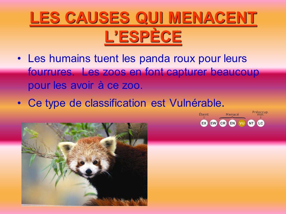 LES CAUSES QUI MENACENT L'ESPÈCE Les humains tuent les panda roux pour leurs fourrures. Les zoos en font capturer beaucoup pour les avoir à ce zoo. Ce