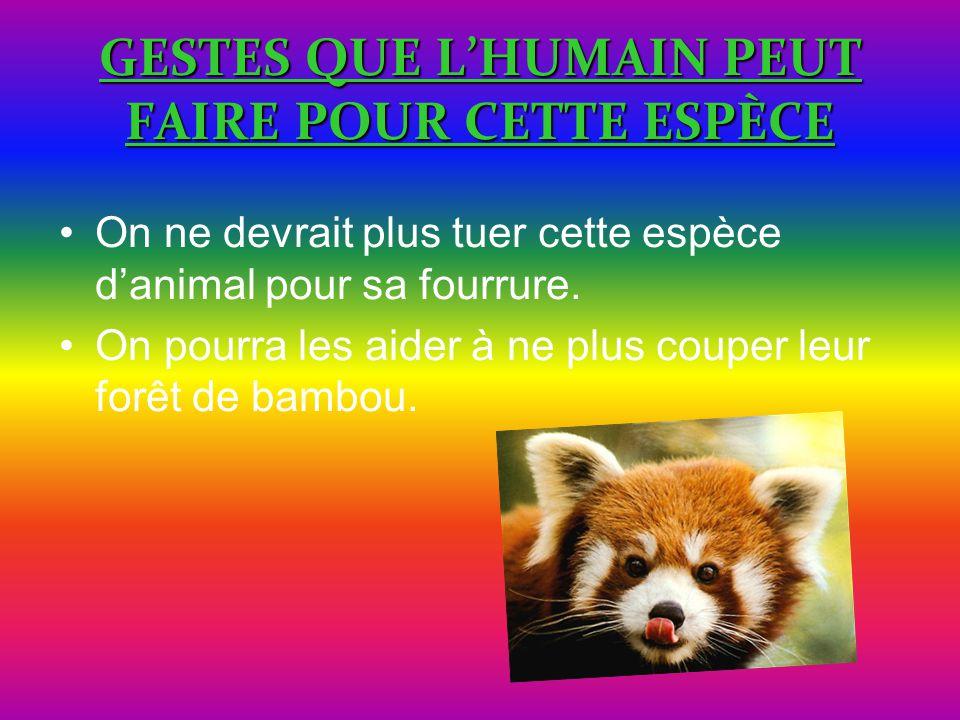 GESTES QUE L'HUMAIN PEUT FAIRE POUR CETTE ESPÈCE On ne devrait plus tuer cette espèce d'animal pour sa fourrure. On pourra les aider à ne plus couper