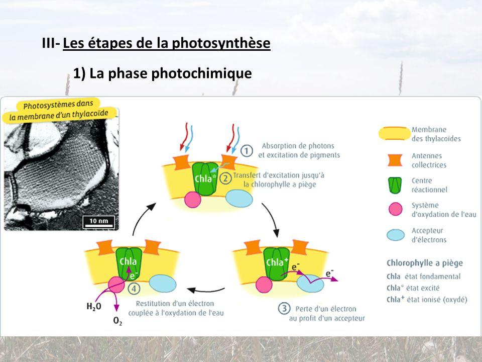 III- Les étapes de la photosynthèse 1) La phase photochimique