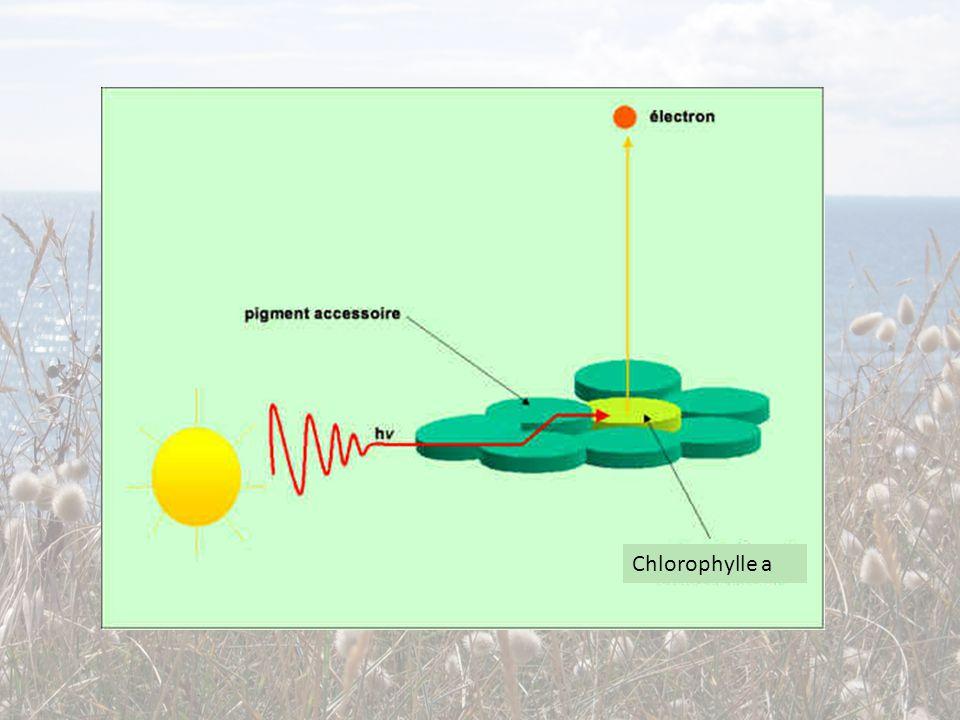 Chlorophylle a