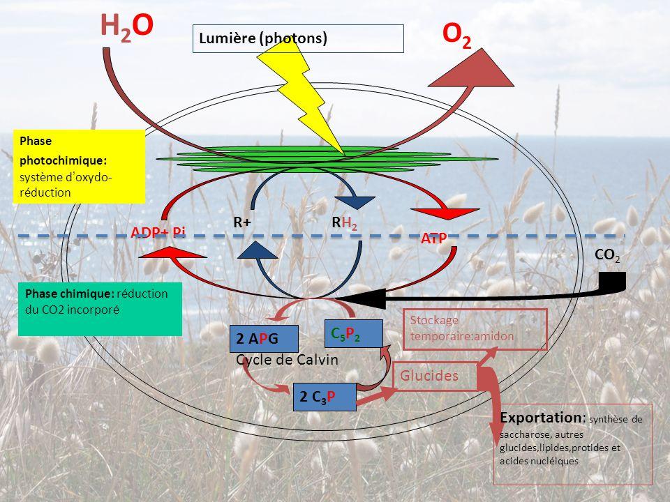 H2OH2O O2O2 R+ RH 2 ADP+ Pi ATP Lumière (photons) C5P2C5P2 2 APG 2 C 3 P Cycle de Calvin CO 2 Glucides Exportation: synthèse de saccharose, autres glu