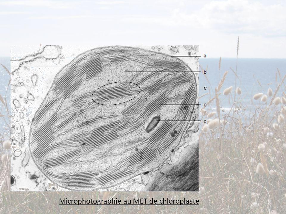 e Microphotographie au MET de chloroplaste