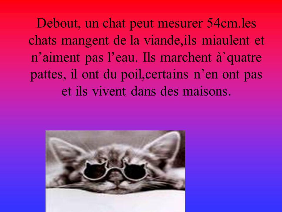 Debout, un chat peut mesurer 54cm.les chats mangent de la viande,ils miaulent et n'aiment pas l'eau.